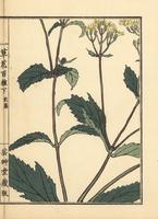 Pei lan, Eupatorium fortunei.  20042002720| 写真素材・ストックフォト・画像・イラスト素材|アマナイメージズ