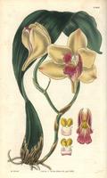 Bifrenaria harrisoniae orchid