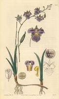 Tetramicra elegans orchid