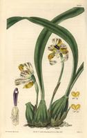 Brasiliorchis picta orchid
