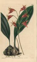 Bifrenaria aureofulva orchid