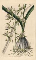 Encyclia adenocarpa orchid