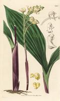 Govenia utriculata orchid
