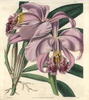 Mrs Moss' superb cattleya orchid