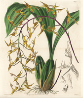 Spotted gongora orchid