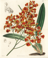 Forbes' oncidium orchid