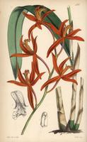 Cattleya cinnabarina orchid
