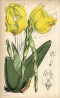 Mr. Clowes' anguloa orchid