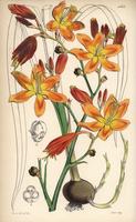 Crocosmia aurea orchid