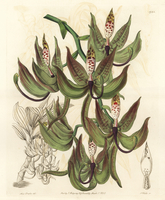 Loddiges' swanwort orchid