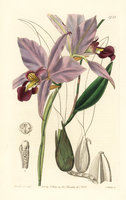 Two-edged laelia orchid