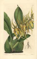 Mr. Lance's brassia orchid