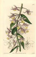 Hooded dendrobium orchid