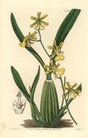 Lemon-coloured oncidium orchid