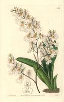 Tolumnia pulchella orchid
