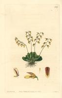 Specklinia grobyi orchid