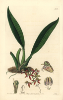 Trinidad macradenia orchid