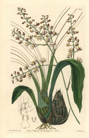 Pale graphorkis orchid