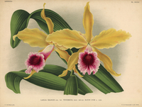 Yellow and crimson orchid