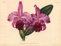 Cattleya trianae hybrid orchid