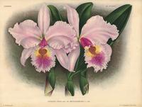 Cattleya gigas hybrid orchid
