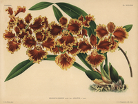 Reverend Forbes' oncidium orchid