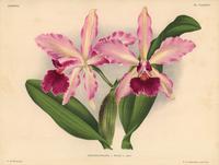 Laeliocattleya x Pauli hybrid orchid