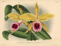 Laelia grandis tenebrosa orchid