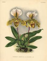 Cypripedium x Leeanum hybrid orchid 20042002812| 写真素材・ストックフォト・画像・イラスト素材|アマナイメージズ