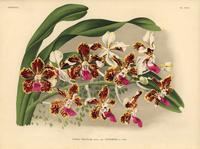 Vanda tricolor hybrid orchid