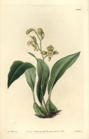 Bifrenaria racemosa orchid 20042002815| 写真素材・ストックフォト・画像・イラスト素材|アマナイメージズ
