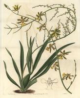 Oncidium baueri orchid 20042002822| 写真素材・ストックフォト・画像・イラスト素材|アマナイメージズ