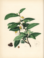Tea plant with leaf, flower and fruit.