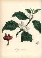 Coffee plant with leaf, flower and bean.