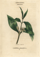 Coffee plant, Coffea arabica.