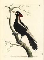 Ivory-billed woodpecker, Campephilus principalis.