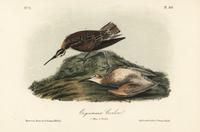 Eskimo curlew, Numenius borealis.