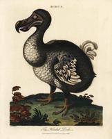Dodo, Raphus cucullatus.