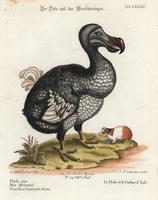 Dodo, Raphus cucullatus, and guinea pig.