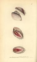 Elegant venus shell, Hysteroconcha dione