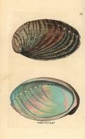 Abalone, Haliotis tuberculata.