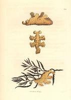 Sargassum nudibranch, Scyllaea pelagica. 20042003636| 写真素材・ストックフォト・画像・イラスト素材|アマナイメージズ