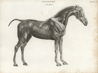 Musculature of the horse.