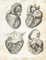 Anatomy of the human heart.