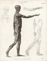 Anatomy of human musculature.