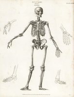Human skeleton from the front.