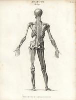 Human core musculature, back.