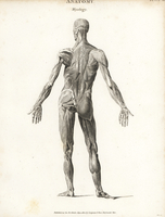 Human outer musculature, back.