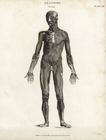 Human outer musculature, front.