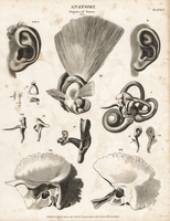 Ear flap, anvil, stirrup, cochlea, etc. 20042003691| 写真素材・ストックフォト・画像・イラスト素材|アマナイメージズ